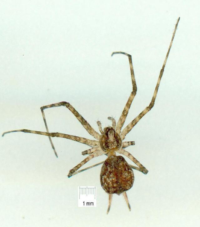 Image of <i>Tamopsis fickerti</i> (L. Koch 1876)