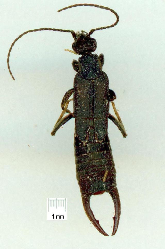 Image of Earwig