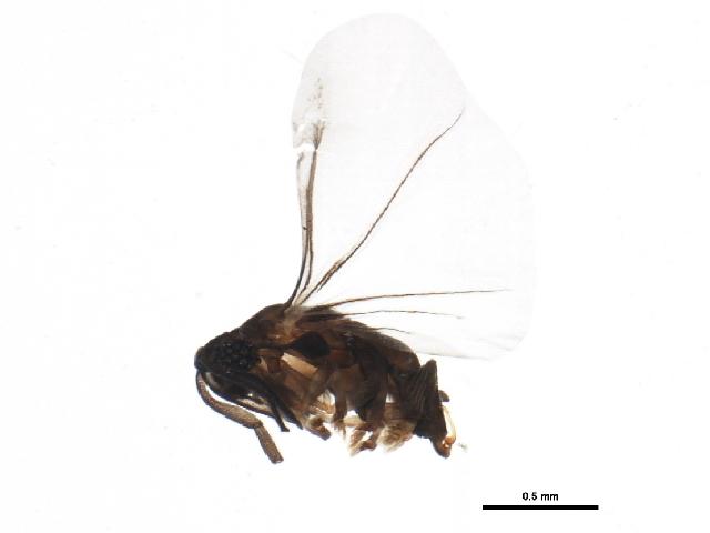 Image of Myrmecolacidae