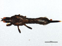 Image of Leaf-gall thrip