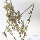 Image of willowleaf aster