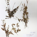 Image of smartweed dodder