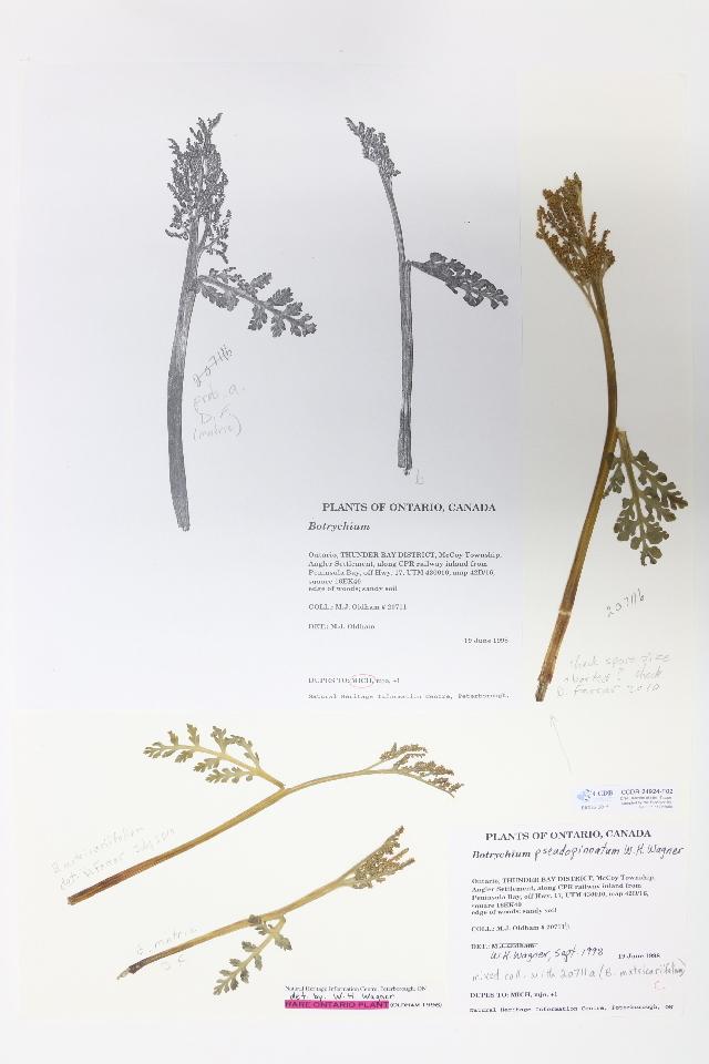 Image of false daisyleaf moonwort