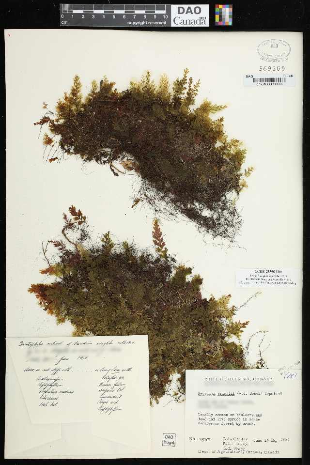Image of Wright's filmy fern