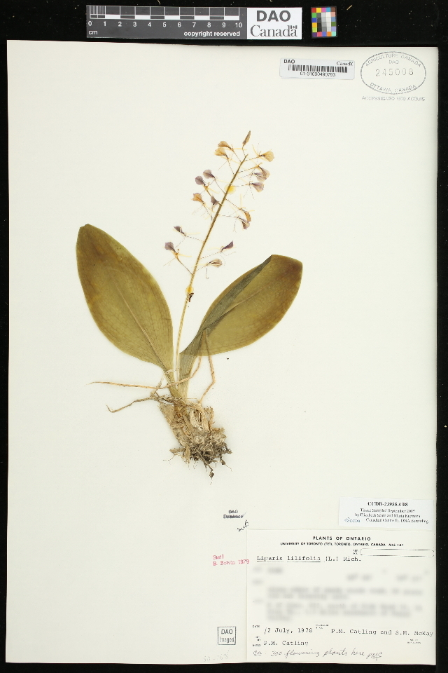 Image of brown widelip orchid