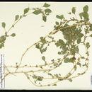 Image of purple amaranth