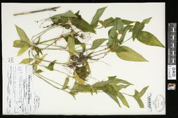 Image of Asiatic dayflower