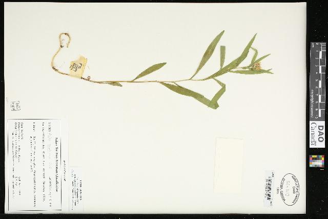 Image of <i>Symphyotrichum subulatum</i>