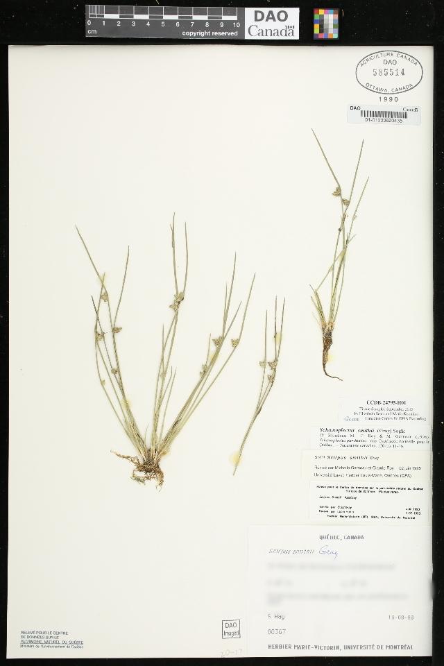 Image of <i>Schoenoplectiella smithii</i> (A. Gray) Hayas.