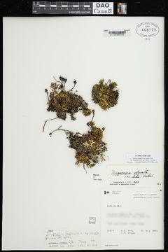 Image of <i>Diapensia obovata</i>