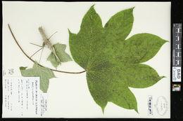 Image of castor aralia