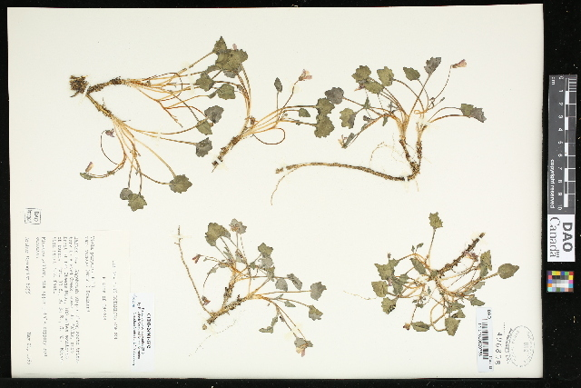 Image of goosefoot violet