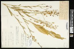 Image of flatseed false flax