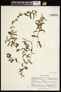 Image of Richardson's pondweed