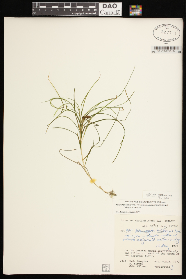Image of <i>Stuckenia filiformis</i> ssp. <i>occidentalis</i>