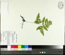 Image of Oak Fern