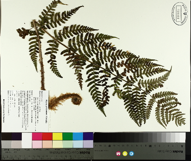 Image of marginal woodfern