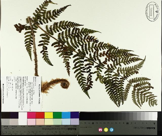 Image of marginal woodfern