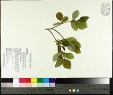 Image of eastern leatherwood
