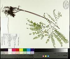 Image of Northern Maidenhair Fern