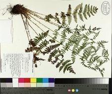 Image of intermediate woodfern