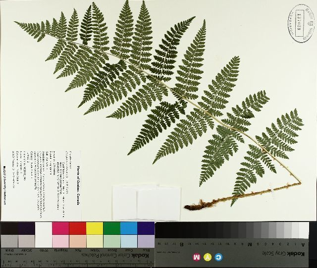 Image of spinulose woodfern