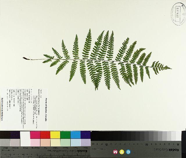 Image of common ladyfern