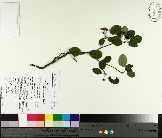 Image of <i>Amelanchier spicata</i> (Lam.) K. Koch