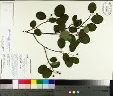 Image of roundleaf serviceberry