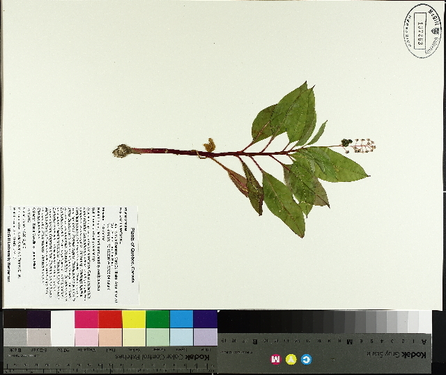 Image of pokeweed