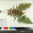 Image of New York fern
