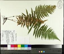 Image of New York fern