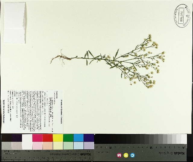 Image of Canadian horseweed