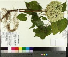 Image of wild hydrangea
