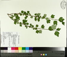 Image of Mountain Currant