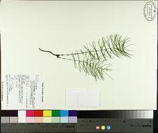 Image of Shady Horsetail