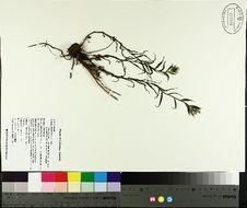 Image of Labrador Indian paintbrush
