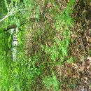 Image of crimson weigela