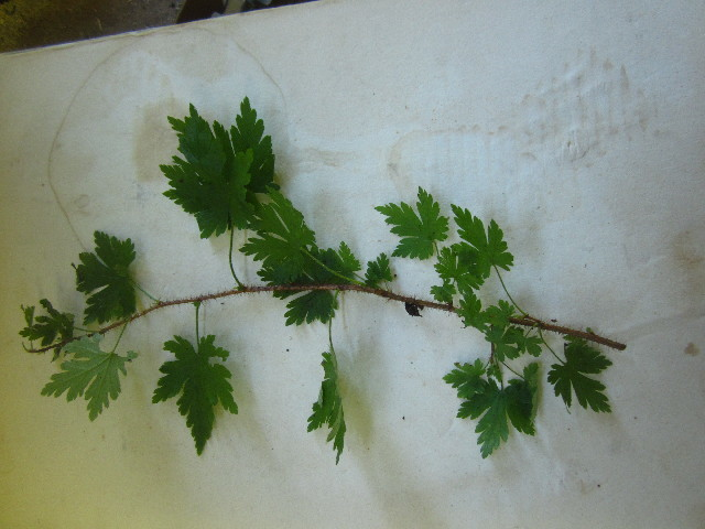 Image of prickly currant