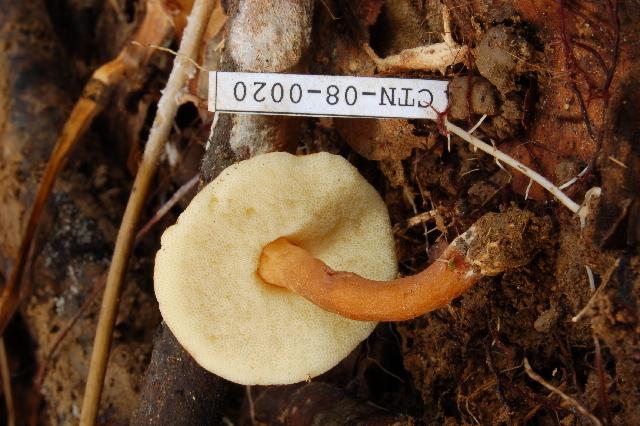 Image of <i>Gyroporus</i>
