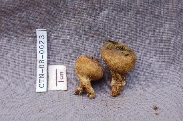 Image of <i>Scleroderma</i>