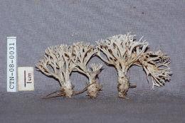 Image of <i>Tremellodendron</i>