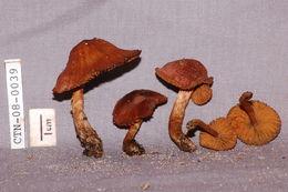 Image of Dermocybe