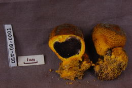 Image of <i>Scleroderma australe</i> Massee 1889