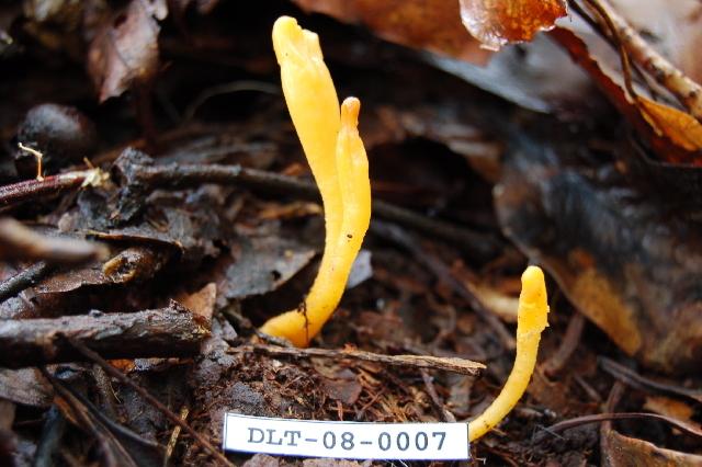 Image of <i>Microglossum</i>
