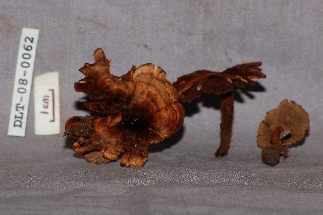 Image of <i>Coltricia</i> cf. <i>cinnamonea</i>