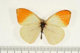 Image of <i>Colotis incretus</i> Butler 1881