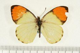Image of <i>Colotis auxo</i> (Lucas 1852)
