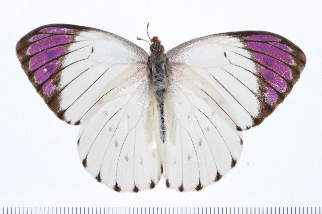 Image of <i>Colotis regina</i> (Trimen 1863)