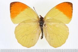 Image of <i>Eronia leda</i> (Boisduval 1847)